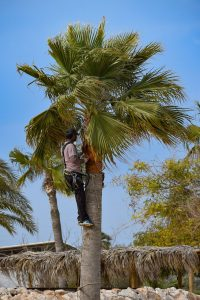 Palm Tree Pruning cost Melbourne